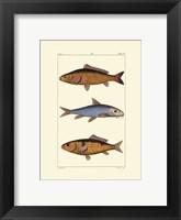 Freshwater Fish II Framed Print