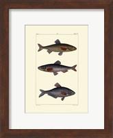 Framed Freshwater Fish III