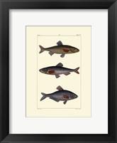 Freshwater Fish III Framed Print