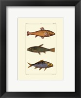 Freshwater Fish IV Framed Print