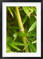 Framed Close-up of a bamboo shoot with bamboo leaves
