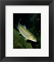 Framed Brown Trout Underwater