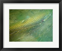 Framed Madison River Brown Trout