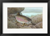 Framed Rainbow trout - swimming
