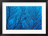 Framed Sea Fan on a Reef, Belize