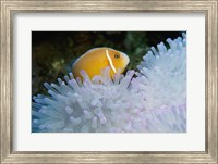 Framed Clown Fish, Nananu-I-Ra Island, Fiji