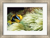 Framed Close-up of a Two-banded Clown fish swimming underwater, Nananu-I-Ra Island, Fiji