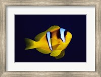 Framed Close-up of a Clown Fish swimming