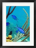 Framed Blue Chromis Fish