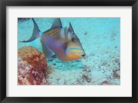 Queen Triggerfish Framed Print