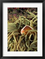 Framed Orange Fin Anenomefish hiding in sea anemones underwater