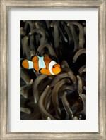 Framed Percula Clownfish swimming near sea anemones underwater