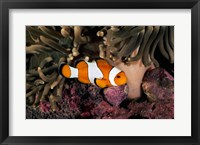 Percula Clownfish swimming near sea anemones underwater Framed Print