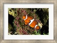 Framed Percula Clownfish