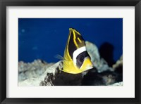 Close-up of a Raccoon Butterfly Fish In Ocean Framed Print