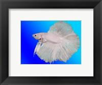 Framed White Betta Fish