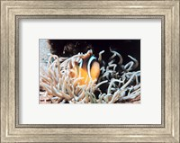 Framed Clown fish in coral reef