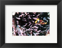 Framed Two banded clown fish