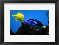 Framed Yellow Tang and Blue Tang