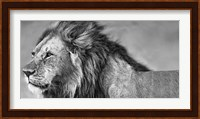 Framed Lion Eyes
