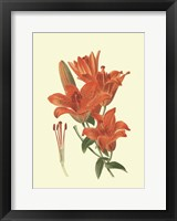 Framed Striking Lilies II