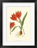 Framed Striking Lilies IV