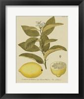 Framed Antique Lemon
