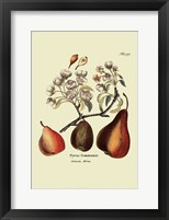 Framed Antique Pears
