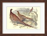 Framed Pheasant Varieties VI