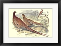 Framed Pheasant Varieties VI