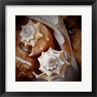 Framed Macro Shells III