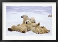 Framed Polar Bear Playtime