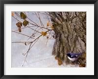 Framed Late Snow Warbler