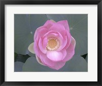 Framed Blushing Lotus I