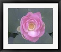 Blushing Lotus I Framed Print