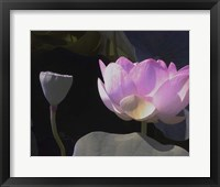Framed Blushing Lotus III