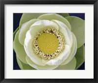 Framed Delicate Lotus II