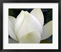 Framed Delicate Lotus IV