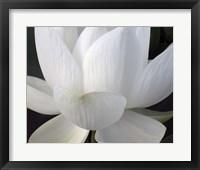 Delicate Lotus V Framed Print