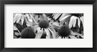 Framed Echinacea Sunrise