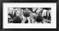 Framed Echinacea Sunrise