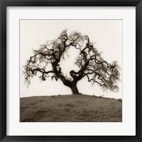 Framed Hillside Oak Tree