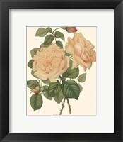 Framed Vintage Roses III
