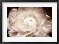 Framed Elegant Ranunculus I