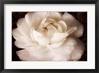Framed Elegant Ranunculus II