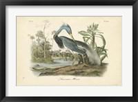 Framed Audubon's Louisiana Heron