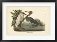 Framed Audubon's Reddish Egret