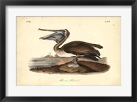 Framed Audubon's Brown Pelican