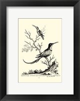 Framed B&W Grt. & Less. Hummingbird (1742)