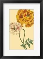Framed Ranunculus II